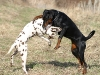 800px-Dalmatian_and_Dobermann_fight.jpg