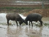800px-Water_Buffalo_fight.jpg